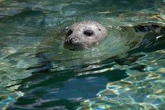 Harbor seal (Phoca vitulina) Royalty Free Stock Photos