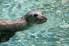 Harbor seal (Phoca vitulina) Stock Photo