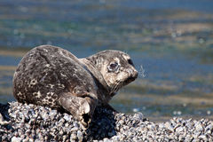 Harbor Seal. This young harbor seal gives the camera an over the should look Royalty Free Stock Images