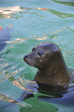 Harbor seal Stock Photos