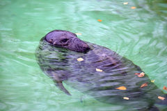Harbor seal Royalty Free Stock Image