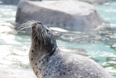 Harbor seal2 Stock Image