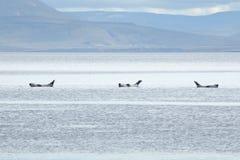 Harbor seals. Three Harbor Seals (Phoca vitulina) lying in shallow waters.  Picture taken in Vatnsnes Peninsula (Iceland Stock Photos