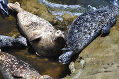 Harbor seals Royalty Free Stock Photos
