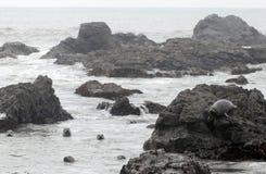 Harbor Seals Royalty Free Stock Photography
