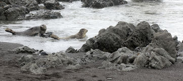 Harbor Seals Royalty Free Stock Image