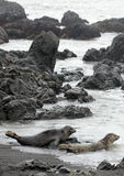 Harbor Seals Royalty Free Stock Images