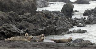 Harbor Seals Stock Images