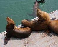 Harbor Seals Stock Image