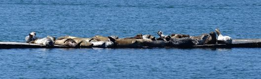Harbor seals assembled in a small group of mixed colors on a floating jetty. A group of harbor seals sunbathing on a floating dock supported by a pontoon. A stock image