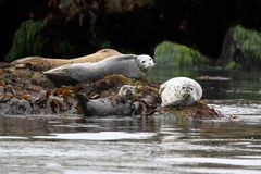 Harbor Seals Backing In The Sun Royalty Free Stock Images
