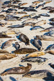 Harbor Seals Stock Images