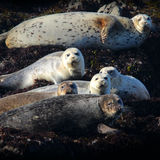 Harbor Seals on the California Coast. Harbor Seals laying on the rocks in Fort Bragg California stock image
