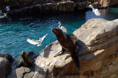 Harbor seals and egrets at Seaworld pool Royalty Free Stock Photo