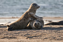 Harbor seals in game Stock Image