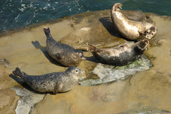 Harbor seals hailed out on the rock Stock Images