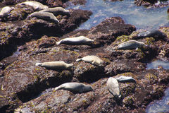 Harbor seals hauled out Stock Photos