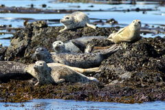 Harbor Seals Hauled Out Royalty Free Stock Photo