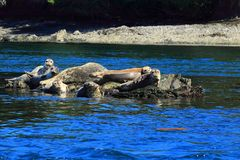 Group of Harbour Seals laying in Rock Outcropping near Sidney, British Columbia royalty free stock image