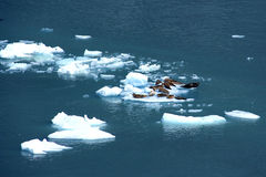 Harbor seals in ice floe Royalty Free Stock Photo