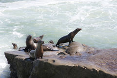 Harbor Seals in La Jolla Royalty Free Stock Photo
