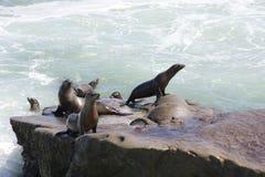 Harbor Seals in La Jolla Royalty Free Stock Photo