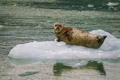 Harbor Seals on a LeConte Glacier Ice Flow Royalty Free Stock Image