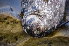 A Sleeping Harbor Seal Near Children`s Beach in La Jolla, CA Royalty Free Stock Photos