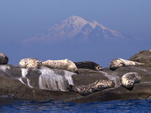Harbor Seals and Mt Baker. Group of relaxed Harbor Seals sunning themselves in front of Mount Baker Royalty Free Stock Image