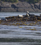 Harbor Seals in Native Habitat, Western Canada Stock Photography