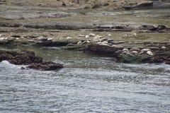 Harbor seals Stock Photography