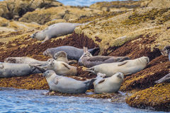Harbor Seals Phoca vitulina loaf on rocks Stock Photos