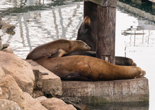 Harbor Seals relaxing Stock Photos
