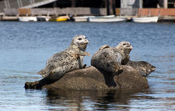 Harbor Seals Royalty Free Stock Photos