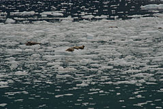 Harbor Seals Resting on Ice Floes Stock Photography