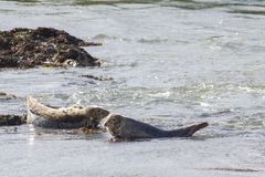Harbor seals resting on a shallow water in Scotland. Telephoto shot stock photos