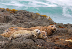 Harbor Seals. On the Rocks in the Pacific Ocean stock photography