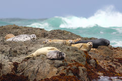Harbor Seals. On the Rocks in the Pacific Ocean royalty free stock photos