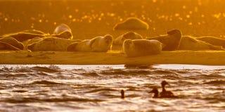 Harbor Seals on sandbank at sunset Stock Images