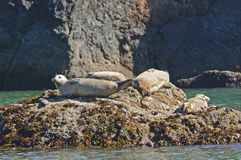 Harbor Seals Sunning on a Rock Stock Image