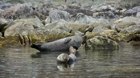 Harbor Seals in Svalbard Royalty Free Stock Images