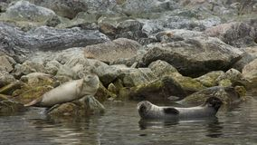 Harbor Seals in Svalbard Stock Photos