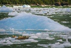 Harbor Seals on a LeConte Glacier Ice Flow Stock Photo