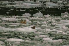 Harbor Seals on a LeConte Glacier Ice Flow Stock Image