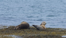 Harbor seals, Western fjords, Iceland Royalty Free Stock Image