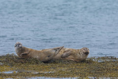 Harbor seals, Western fjords, Iceland Stock Image
