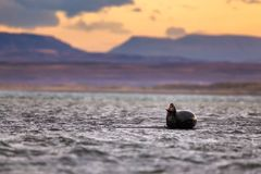 A harborur seal yawns on a black sand beach in the evening stock photos