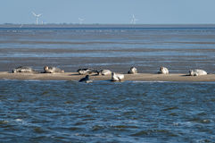 Harbour and grey seals on a sandbank Royalty Free Stock Photo