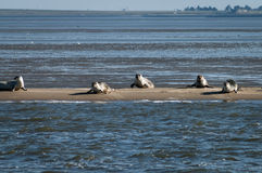 Harbour and grey seals on a sandbank Royalty Free Stock Photos