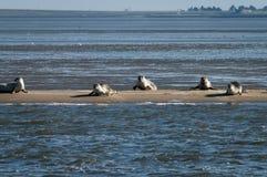 Harbour and grey seals on a sandbank Royalty Free Stock Photos